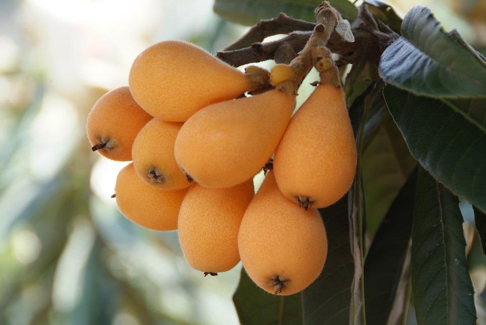 ビワの驚くべき健康上の利点